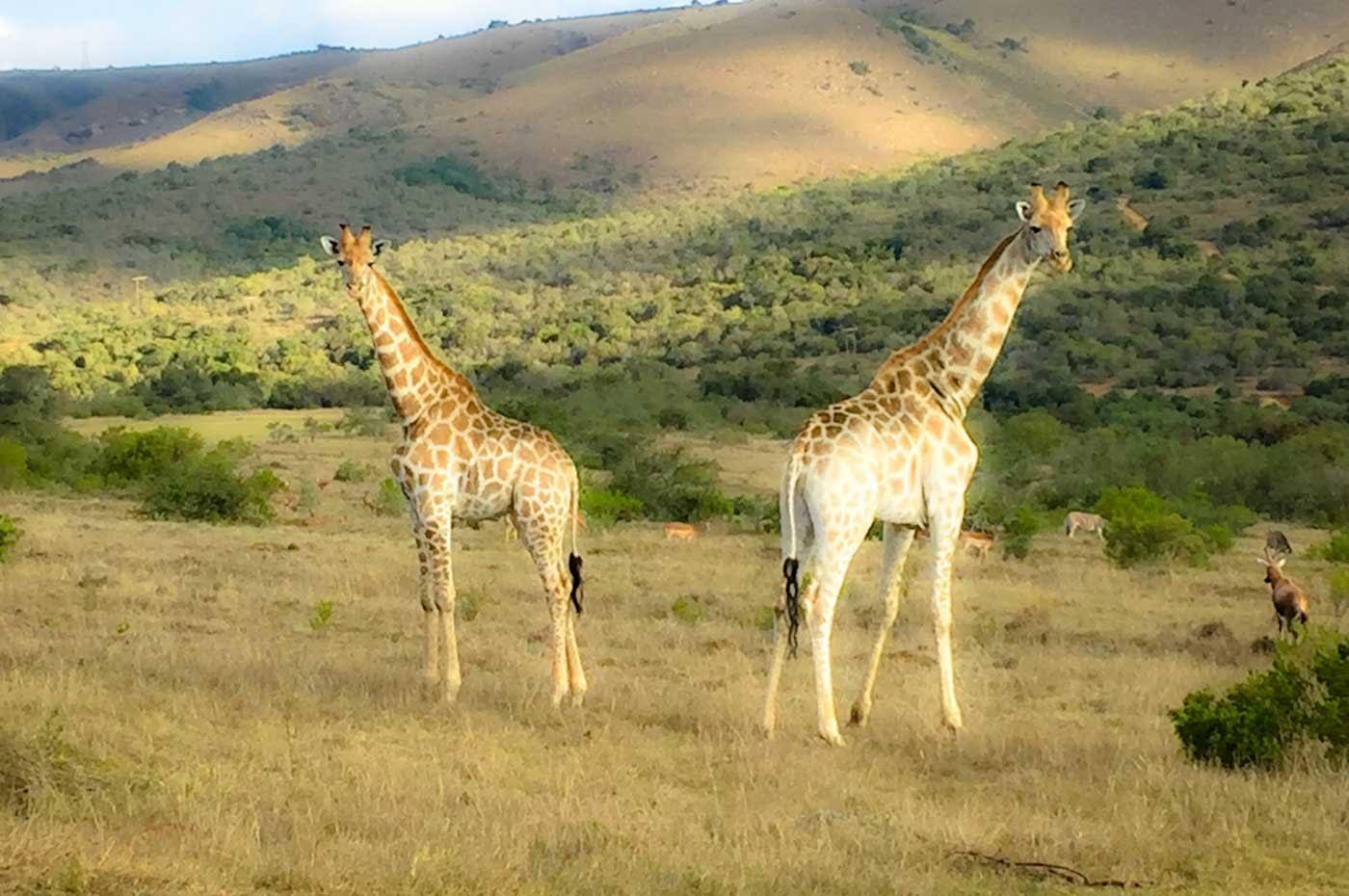 suedafrika-giraffe